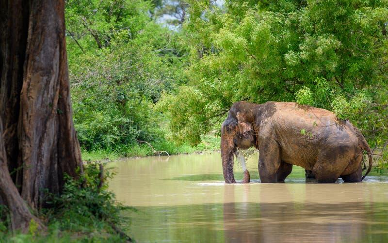 狂放的印度象沐浴用水 库存照片