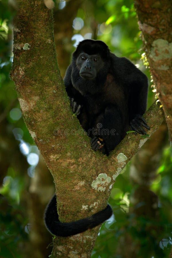 狂放的哥斯达黎加 被覆盖的吼猴Alouatta palliata,自然栖所 坐在森林黑色猴子树的黑猴子 生命 免版税图库摄影