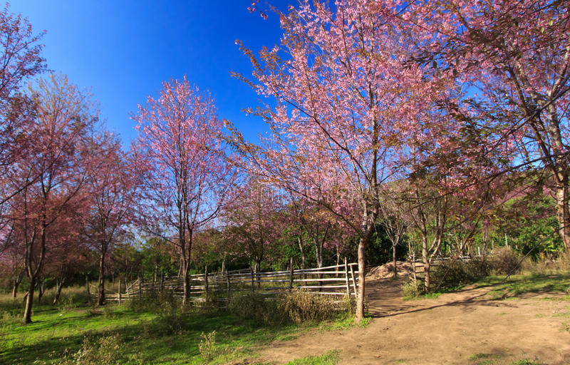 狂放的喜马拉雅樱桃花(泰国的佐仓或李属cerasoides)在Phu Lom Lo山, Loei,泰国 免版税库存图片