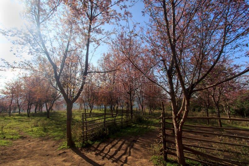 狂放的喜马拉雅樱桃花(泰国的佐仓或李属cerasoides)在Phu Lom Lo山, Loei,泰国 库存图片
