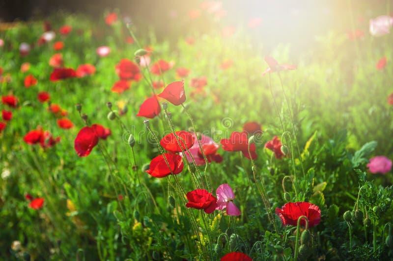 狂放的在早晨阳光背景的草甸美丽的花 Sel 免版税图库摄影
