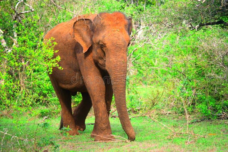 狂放的大象斯里兰卡 免版税库存图片
