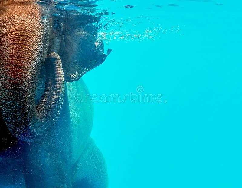 狂放的大象游泳在水中 库存照片