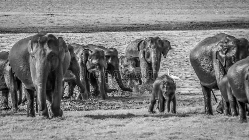 狂放的大象牧群与孩子,kaudulla,斯里兰卡的 库存照片