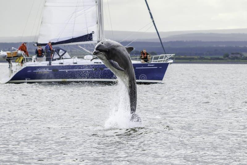 狂放的宽吻海豚tursiops truncatus 库存图片