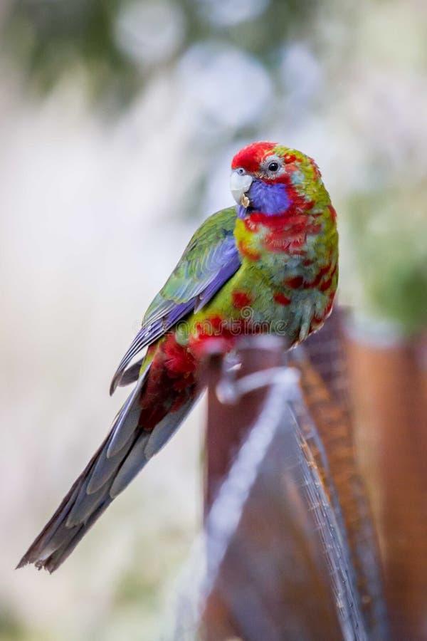 狂放的少年绯红色Rosella,登上Macedon,维多利亚,澳大利亚, 2017年9月 免版税库存图片