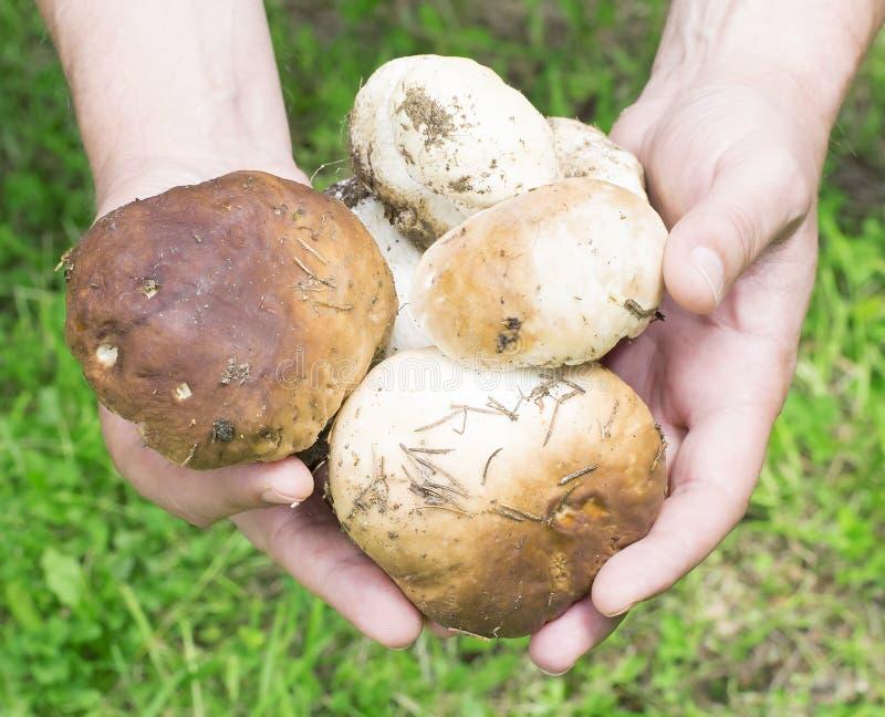 狂放的山蘑菇(牛肝菌蕈类、可食的牛肝菌,便士小圆面包)  库存照片