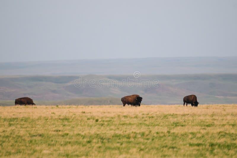 狂放的平原北美野牛(北美野牛北美野牛北美野牛) 库存照片