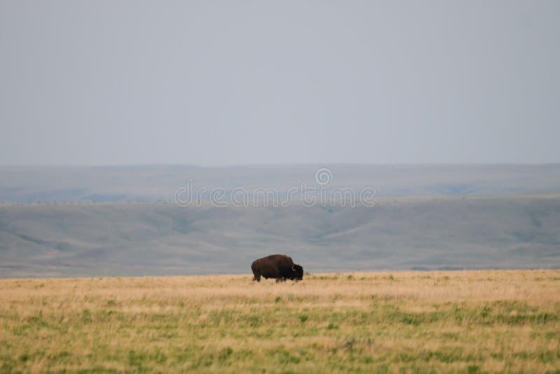 狂放的平原北美野牛(北美野牛北美野牛北美野牛) 免版税库存图片