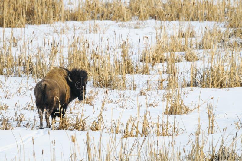 狂放的平原北美野牛 免版税库存照片