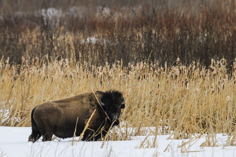 狂放的平原北美野牛 免版税库存图片