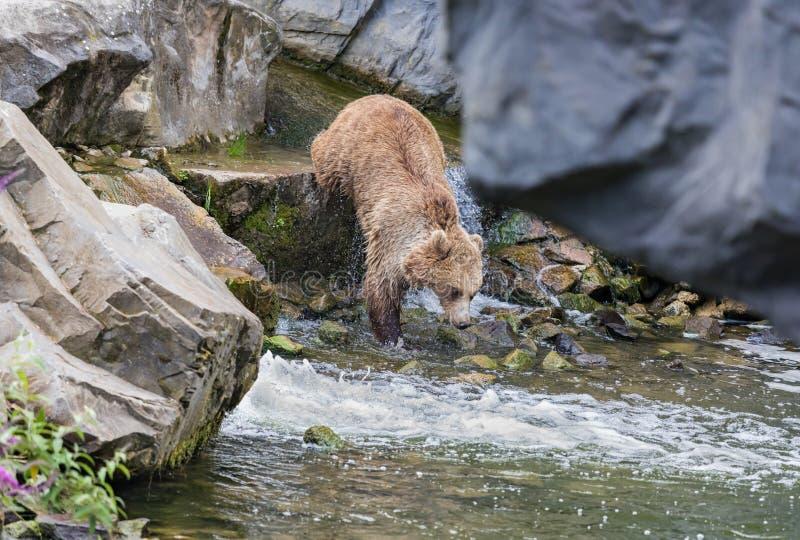 狂放的成人棕熊在一条狂放的小河跳 免版税图库摄影