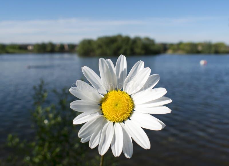 狂放的春白菊花 库存图片