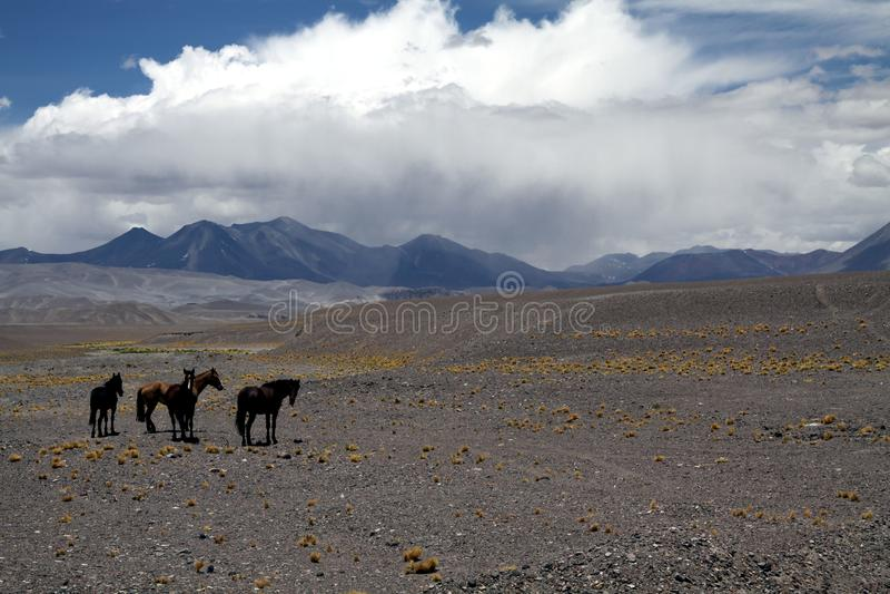 狂放的智利马马属ferus caballus牧群在贫瘠干燥地形的阿塔卡马沙漠altiplanos的,智利 免版税库存图片