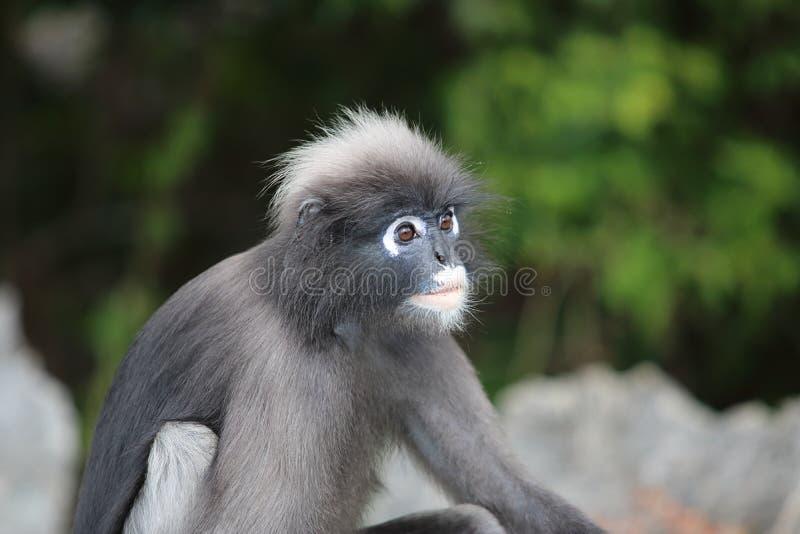 狂放的暗淡的叶子猴子或Trachypithecus obscurus在被弄脏的自然背景 免版税库存照片