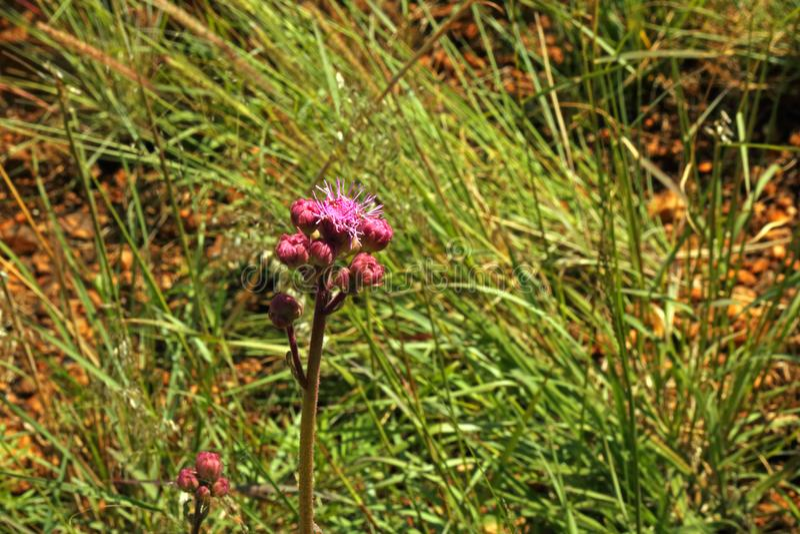 狂放的桃红色大型机关炮花卉生长在领域 免版税库存图片