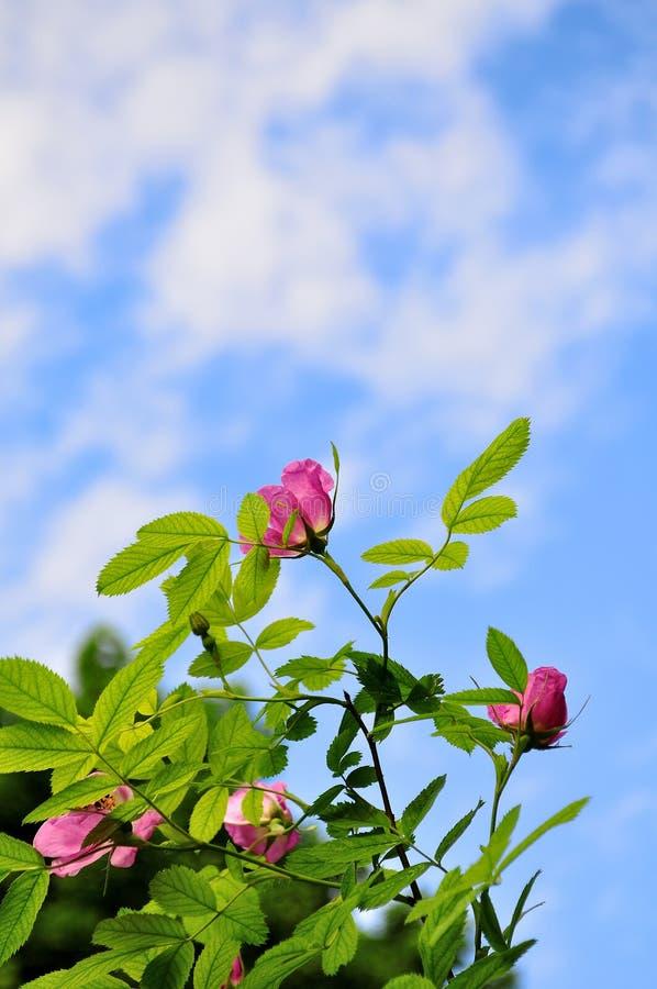 狂放的桃红色野玫瑰果玫瑰花反对蓝天的 库存照片