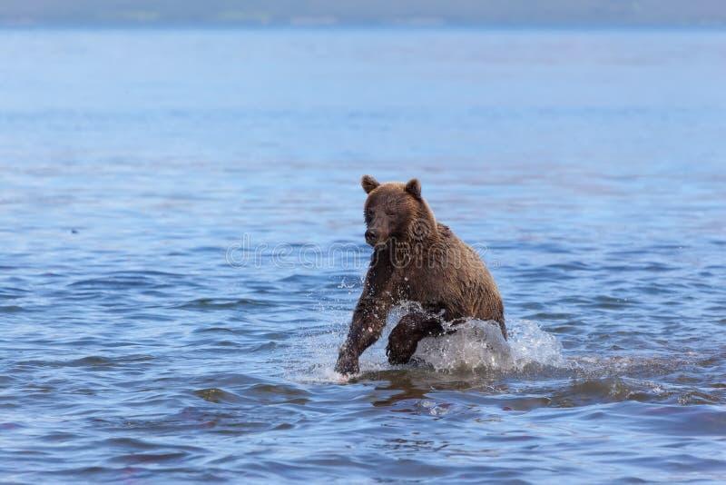 狂放的棕熊北美灰熊钓鱼 熊在水中跑在Kuril湖在夏天 图库摄影