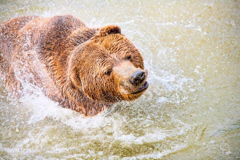狂放的棕熊游泳 图库摄影