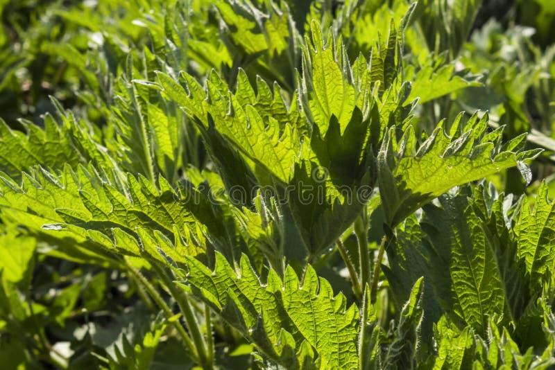 狂放的森林荨麻荨麻 免版税图库摄影