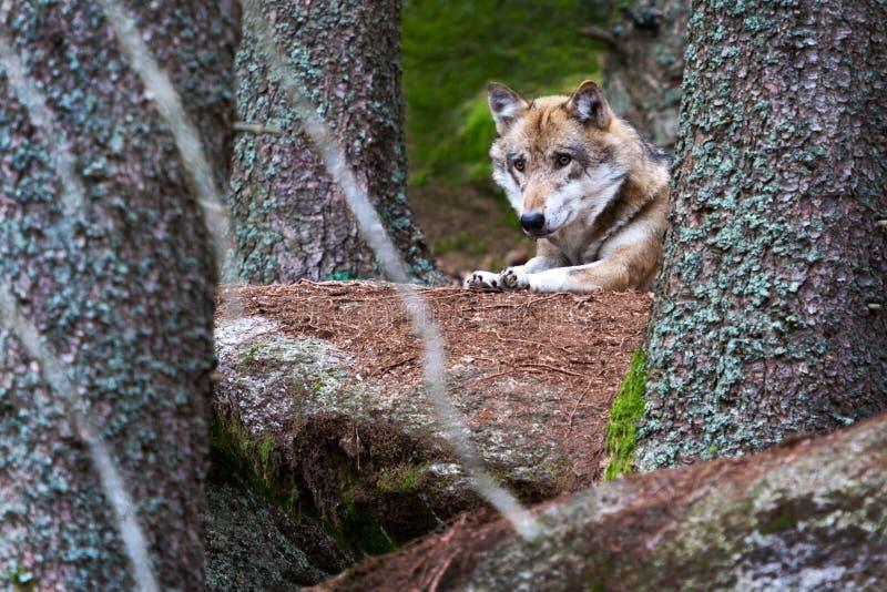 狂放的欧洲wolfwild欧洲狼/天狼犬座在木头o 免版税库存照片