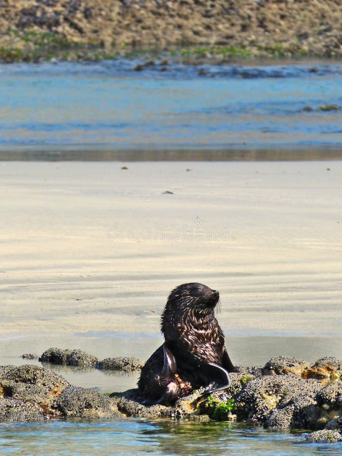 狂放的海狮幼崽疲倦于使用与它的Sibblings在Wharariki海滩,新西兰 库存图片