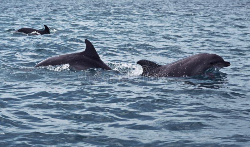 狂放的海豚游泳浅滩  免版税库存图片