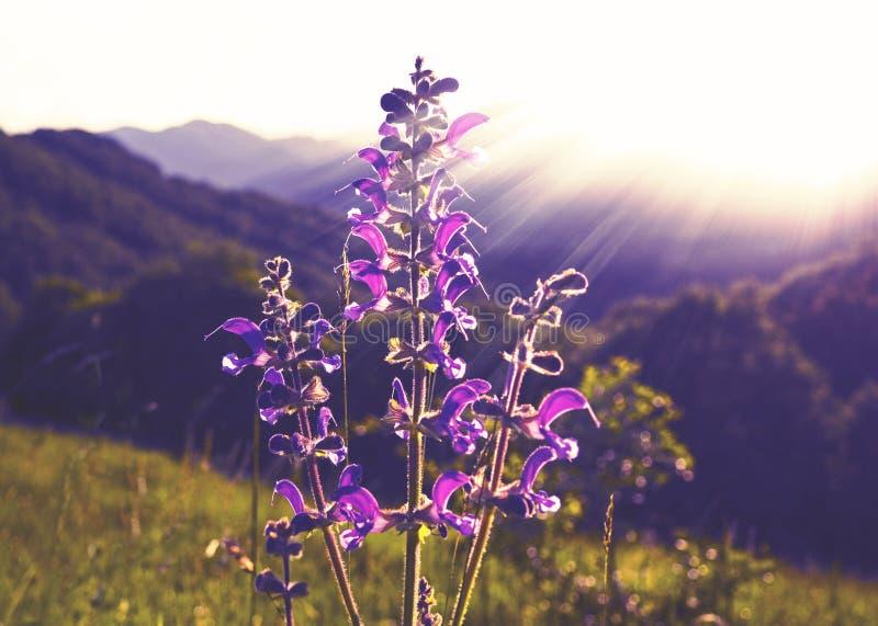 狂放的淡紫色在阳光下 免版税库存照片