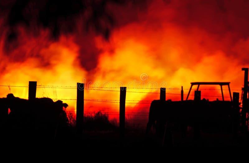 狂放的澳大利亚林区大火困住的牲口 免版税库存图片