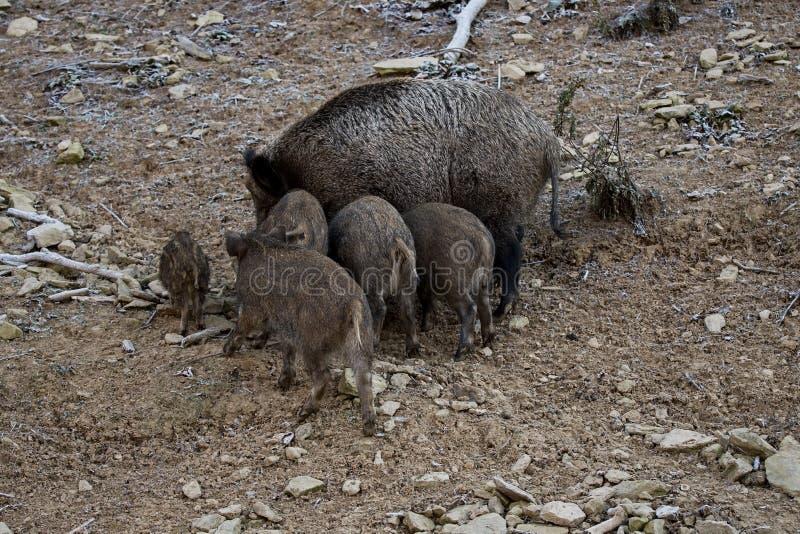 狂放的猪家庭 库存照片