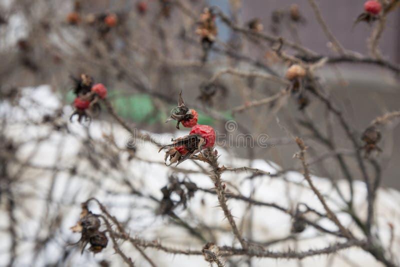 狂放的玫瑰丛在冬天围场 库存照片
