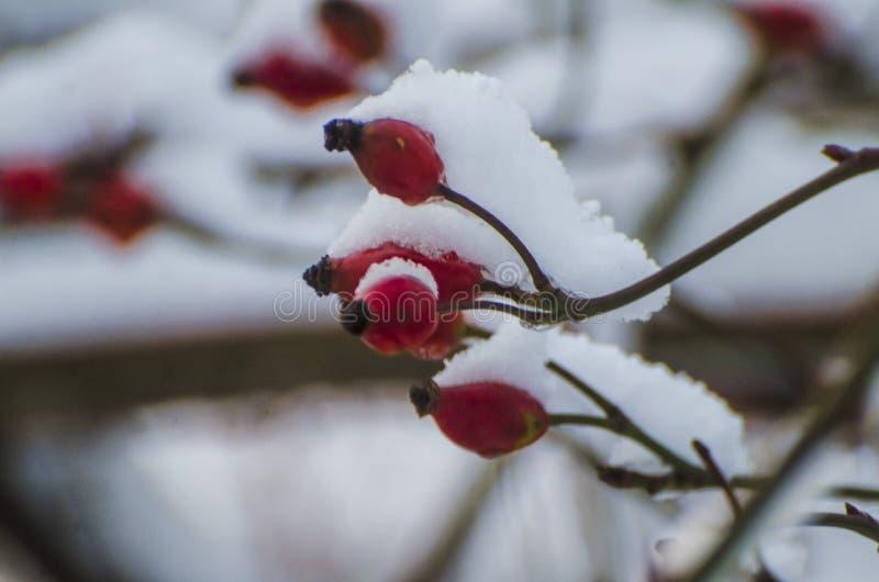 狂放的玫瑰丛用用白色蓬松冬天雪盖的红色野玫瑰果莓果 圣诞节假日背景 免版税库存图片