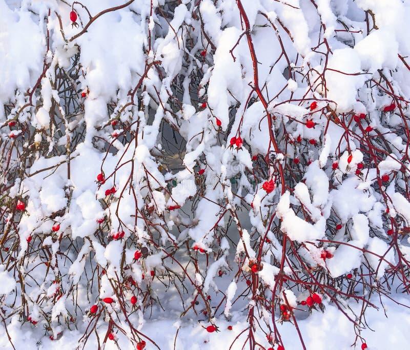 狂放的玫瑰丛用用雪盖的红色莓果 图库摄影