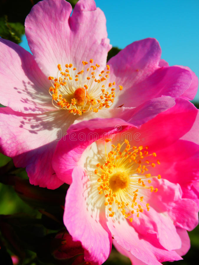 狂放的玫瑰色花宏观摄影  库存图片