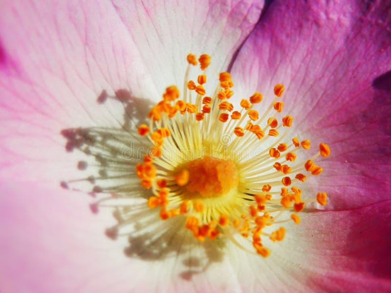 狂放的玫瑰色花宏观摄影  库存照片