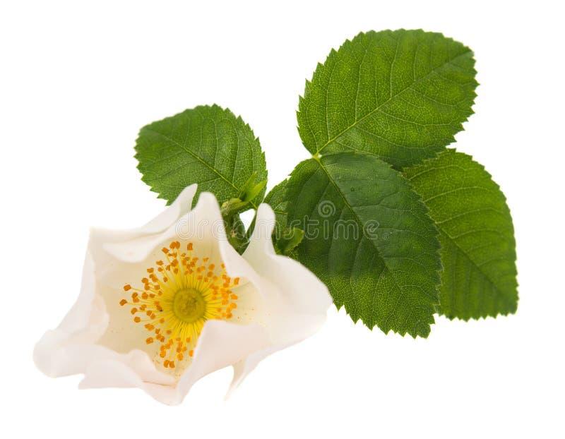 狂放的玫瑰色花 免版税库存图片