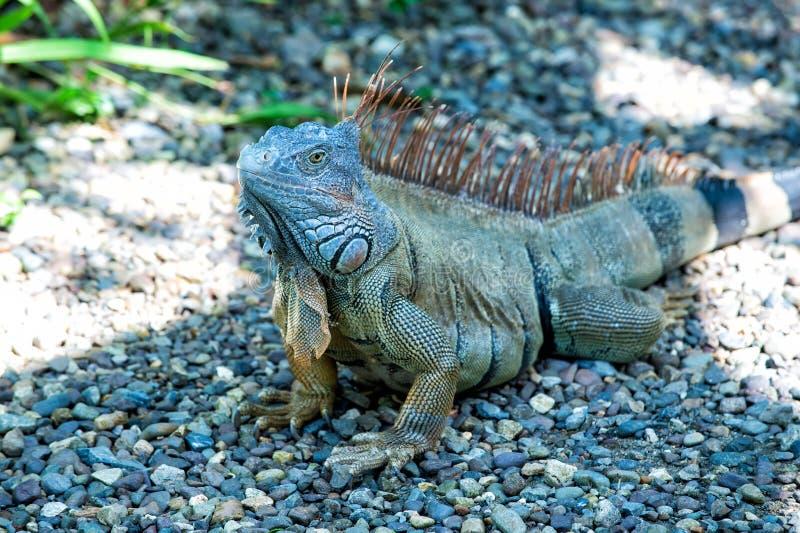 狂放的生活概念 动物权力 保存生物多样性自然区域 懒惰蜥蜴放松 洪都拉斯的惊人本质 库存照片