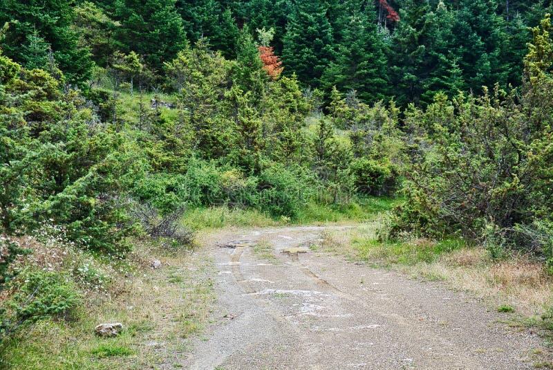 狂放的生长杉树和土路在希腊山 库存图片