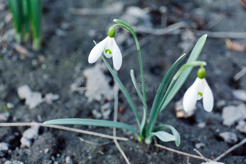 狂放的白色snowdrop,与选择聚焦的特写镜头 图库摄影