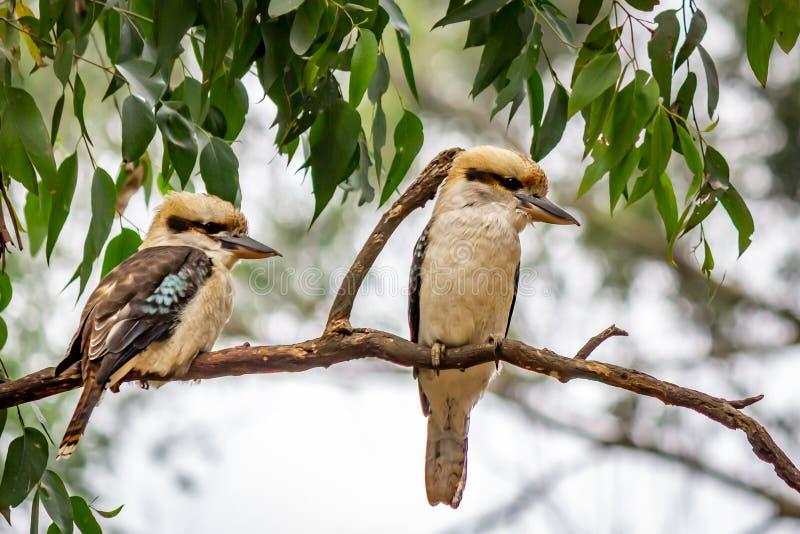 狂放的笑的Kookaburra画象,卡莉斯塔,维多利亚,澳大利亚,2019年3月 免版税库存图片