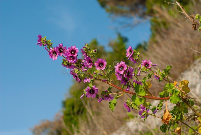 狂放的紫色冬葵开花的分支  免版税库存图片