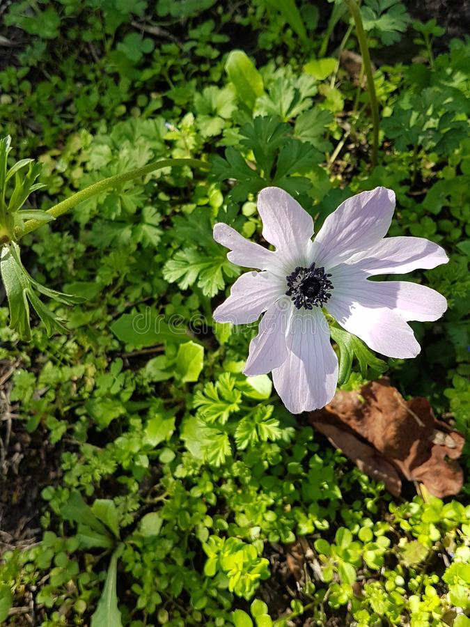 狂放的紫色淡紫色银莲花属有土壤和野生植物背景  库存图片
