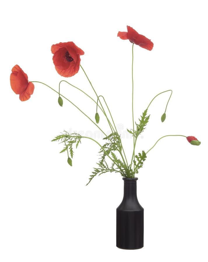 狂放的红色鸦片花,在黑花瓶的罂粟属rhoeas有芽的,在蓝色玻璃花瓶 r ?? 库存图片