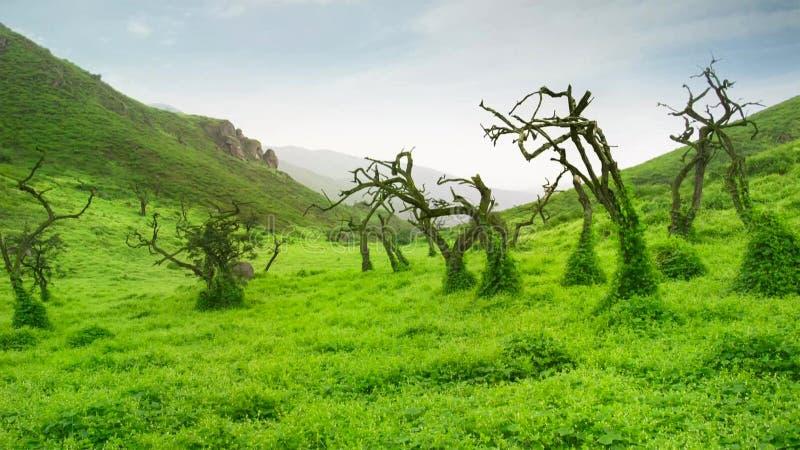 狂放的绿色象草的领域转动了绿色在雨以后 免版税库存图片