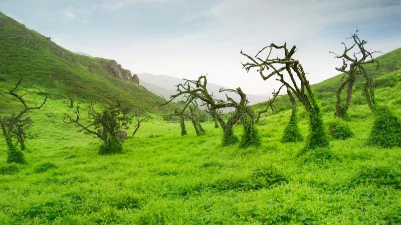 狂放的绿色象草的领域转动了绿色在雨以后 免版税图库摄影