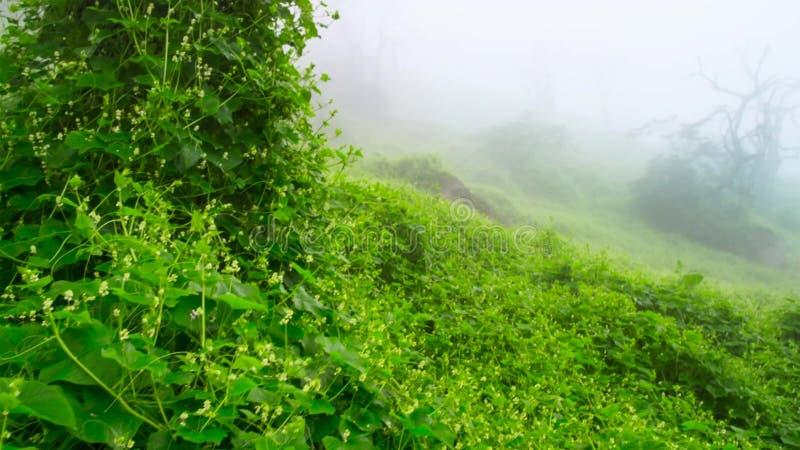 狂放的绿色象草的领域转动了绿色在雨以后 库存图片