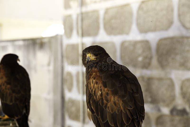 狂放的老鹰猎鹰训练术 库存照片