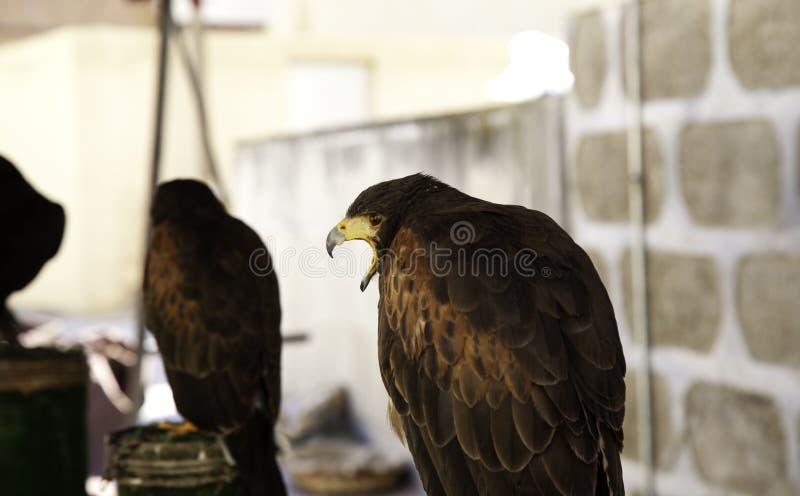 狂放的老鹰猎鹰训练术 库存图片