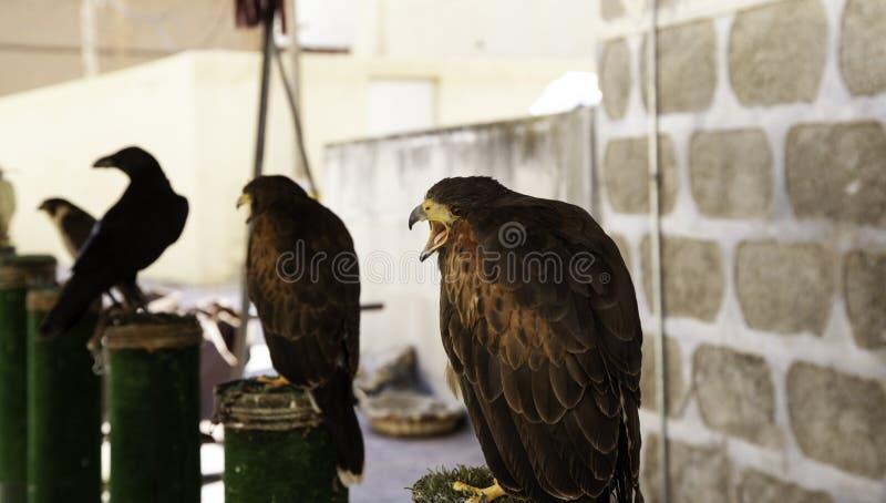 狂放的老鹰猎鹰训练术 图库摄影