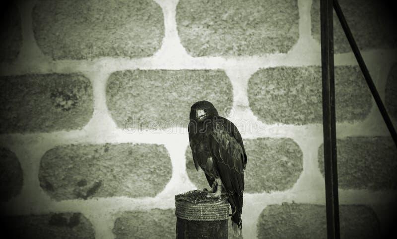 狂放的老鹰猎鹰训练术 免版税图库摄影